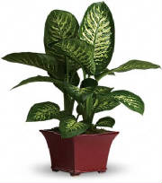 nyc dieffenbachia plant by starbright best office plants no sunlight